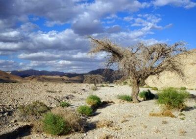 Negev Desert Dry Acacia Tree