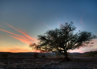 Negev Trees at Sunrise